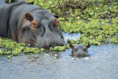 Hippopotamus Adult and Juvenile Heads in Weeds with Young