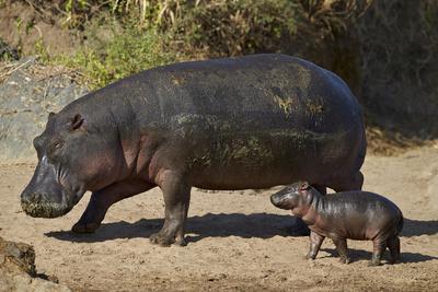 https://imgc.allpostersimages.com/img/posters/hippopotamus-hippopotamus-amphibius-mother-and-baby-out-of-the-water_u-L-PWFE6J0.jpg?p=0