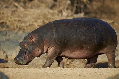 https://imgc.allpostersimages.com/img/posters/hippopotamus-hippopotamus-amphibius-out-of-the-water_u-L-PWFIWB0.jpg?p=0