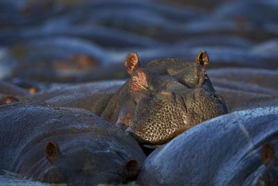 https://imgc.allpostersimages.com/img/posters/hippopotamus-hippopotamus-amphibius-serengeti-national-park-tanzania-east-africa-africa_u-L-PWFDCU0.jpg?p=0
