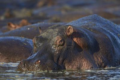 https://imgc.allpostersimages.com/img/posters/hippopotamus-hippopotamus-amphibius-serengeti-national-park-tanzania-east-africa-africa_u-L-PWFHJ50.jpg?p=0