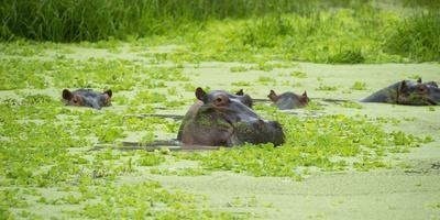 https://imgc.allpostersimages.com/img/posters/hippopotamus-hippos-wallowing-in-hippo-pool-south-luangwa-national-park-zambia-africa_u-L-PWFRED0.jpg?p=0