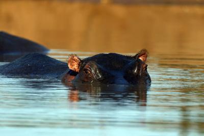 https://imgc.allpostersimages.com/img/posters/hippopotamus-immersed-in-water-kruger-national-park-south-africa_u-L-Q1GYLV60.jpg?artPerspective=n