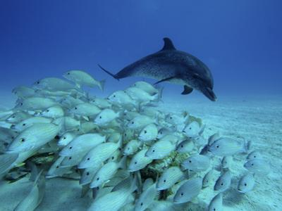 Atlantic Spotted Dolphin (Stenella Frontalis) Chasing School of Snappers, Bahamas, Caribbean by Hiroya Minakuchi/Minden Pictures
