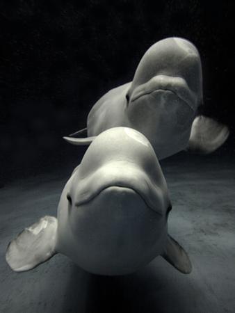 Beluga (Delphinapterus Leucas) Whale Pair Swimming Together, Shimane Aquarium, Japan by Hiroya Minakuchi/Minden Pictures