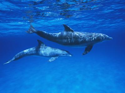 Bottlenose Dolphin (Tursiops Truncatus) Mother and Calf, Gulf of Mexico, Belize by Hiroya Minakuchi/Minden Pictures