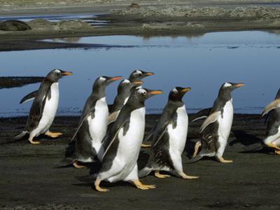 Gentoo Penguin (Pygoscelis Papua) Group Walking, Falkland Islands by Hiroya Minakuchi/Minden Pictures