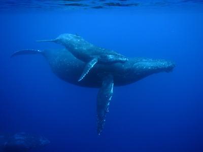 Humpback Whale (Megaptera Novaeangliae) Mother and Calf, Ogasawara Island, Japan by Hiroya Minakuchi/Minden Pictures