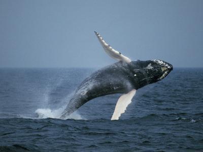 Humpback Whale (Megaptera Novaeangliae), Stellwagen Bank Nat'l Marine Sanctuary, Massachusetts by Hiroya Minakuchi/Minden Pictures