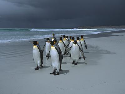 King Penguin (Aptenodytes Patagonicus) Group Walking Along Beach, Falkland Islands by Hiroya Minakuchi/Minden Pictures