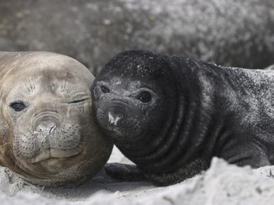 Southern Elephant Seal (Mirounga Leonina) Mother and Pup, Falkland Islands by Hiroya Minakuchi/Minden Pictures