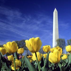 Tulips and the Washington Monument, Washington DC by Hisham Ibrahim