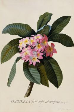 Botanical Print of Frangipani by Johann Wilhelm Weinmann by Historical Picture Archive