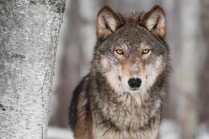 Grey Wolf (Canis Lupus) Next To Birch Tree by hkuchera