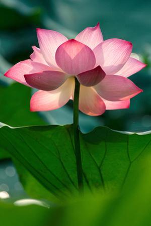 Lotus Flower in the Field by Hoang Nhiem
