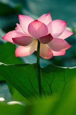 Lotus Flower in the Field by Hoang Nhiem