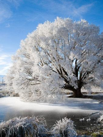 https://imgc.allpostersimages.com/img/posters/hoar-frost-on-willow-tree-near-omakau-central-otago-south-island-new-zealand_u-L-P2TCNQ0.jpg?p=0