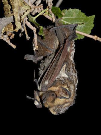 https://imgc.allpostersimages.com/img/posters/hoary-bat-perched-near-portal-arizona-usa_u-L-P7NMIO0.jpg?p=0