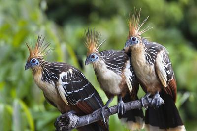 https://imgc.allpostersimages.com/img/posters/hoatzins-opisthocomus-hoazin-perched-in-tropical-rainforest-tambopata-reserve-peru_u-L-Q13A8KU0.jpg?p=0