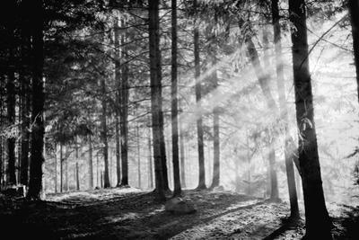 Pine Tree with Lights and Fog,Black and White Photo by hofhauser