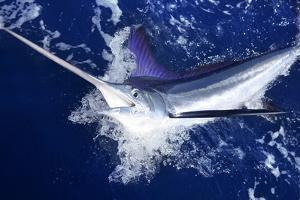 Atlantic White Marlin Big Game Sport Fishing over Blue Ocean Saltwater by holbox