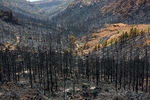 Black Ashes of Canary Pine after Forest Fire at Teide National Park in Summer 2012 by holbox