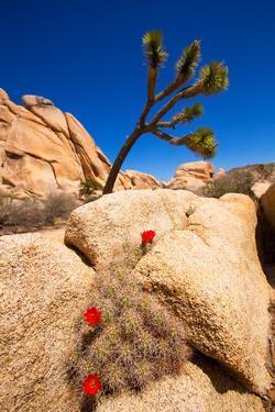 Orange Mohave Mound Cactus Flowers in Joshua Tree Park Echinocereus Triglochidiatus by holbox