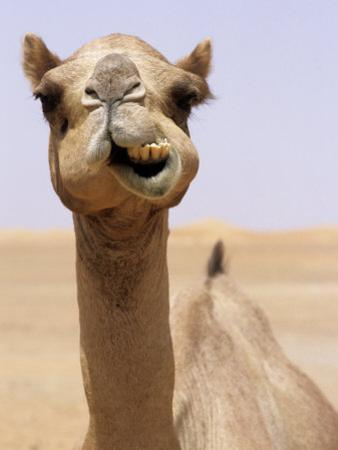 Cheeky Dubai Camel in Desert, Dubai, United Arab Emirates by Holger Leue