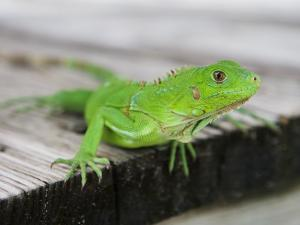 Green Iguana on Breakfast Table at Bucuti Beach Resort on Eagle Beach by Holger Leue