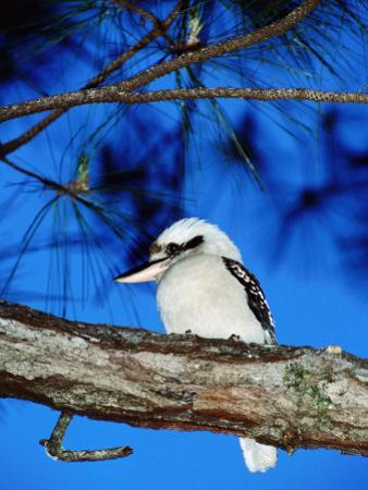Kookaburra, Queensland, Australia