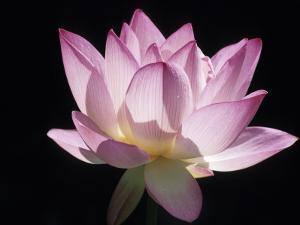 Lotus Flower (Nelumbo Lutea) by Holger Leue
