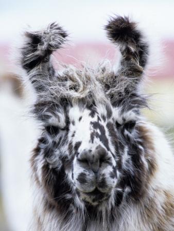 Portrait of a Llama, Estancia Rio Penitente, Near Punta Arenas, Patagonia by Holger Leue