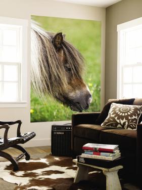 Shetland Pony at Gott Farm by Holger Leue