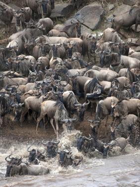 Africa, Kenya, Maasai Mara, wildebeest crossing the Mara River during the migration by Hollice Looney