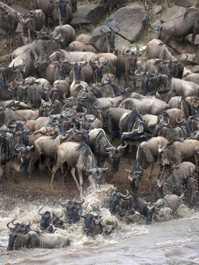 Africa, Kenya, Maasai Mara, wildebeest crossing the Mara River during the migration by Hollice Looney