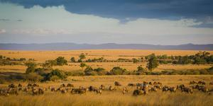 Africa, Kenya, Maasai Mara, wildebeest grazing on the Mara by Hollice Looney