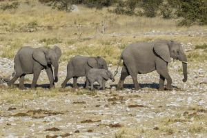 Africa, Namibia, Etosha National Park. Family of elephants walking by Hollice Looney