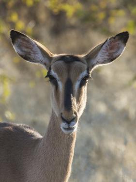 Africa, Namibia, Etosha National Park, Springbok by Hollice Looney