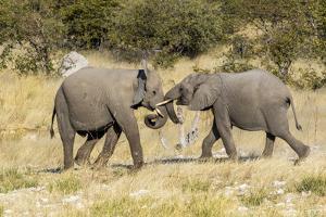 Africa, Namibia, Etosha National Park. Young elephants playing by Hollice Looney
