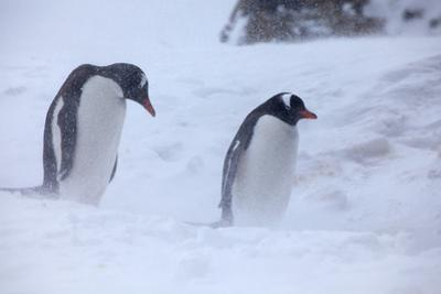 Antarctica, Brown Bluff, Gentoo Penguins in Snow Storm by Hollice Looney