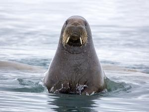 Arctic, Norway, Svalbard. Walrus swimming by Hollice Looney