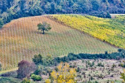 Italy, Tuscany, Lone Tree by Hollice Looney