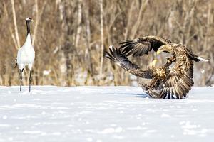 Japan, Hokkaido, Fighting Eagles by Hollice Looney