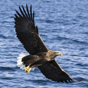 Japan, Rausu, Stellar Eagle with Fish in Talons by Hollice Looney