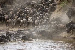 Kenya, Maasai Mara, Wildebeest Crossing the Mara River by Hollice Looney