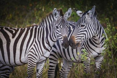 Kenya, Maasai Mara, Zebras Putting Their Heads Together by Hollice Looney