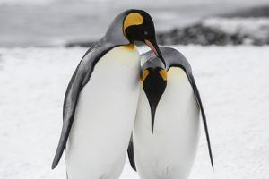 South Georgia Island, Salisbury, Plain, King Penguins by Hollice Looney