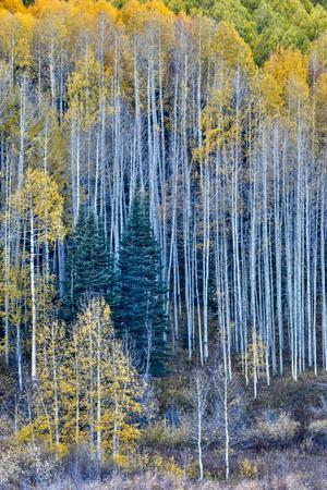 USA, Colorado, Crested Butte. Evergreen trees among the Fall colors of the Aspen trees