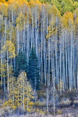 USA, Colorado, Crested Butte. Evergreen trees among the Fall colors of the Aspen trees by Hollice Looney