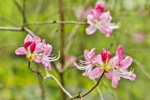 USA, Delaware, Hockessin. Azalea blossoms by Hollice Looney